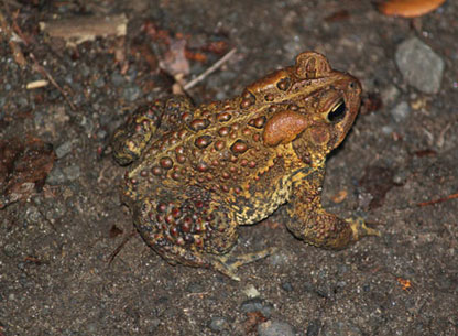 Photograph of an American Toad
