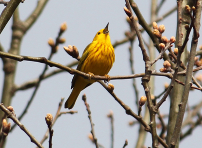 Photograph of a Yellow Warbler